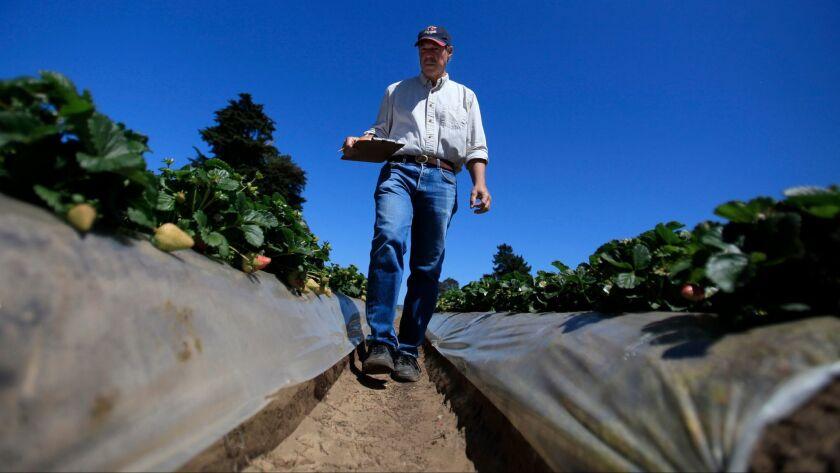 Strawberry breeder par-excellence Douglas Shaw, seen in 2014 when he was still a professor at UC Davis, strolls through strawberry fields in Watsonville.