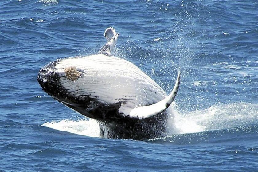 Fotografía facilitada por Australian Antarctic Division, donde se observa a una ballena azul. EFE/SOLO USO EDITORIAL/Archivo