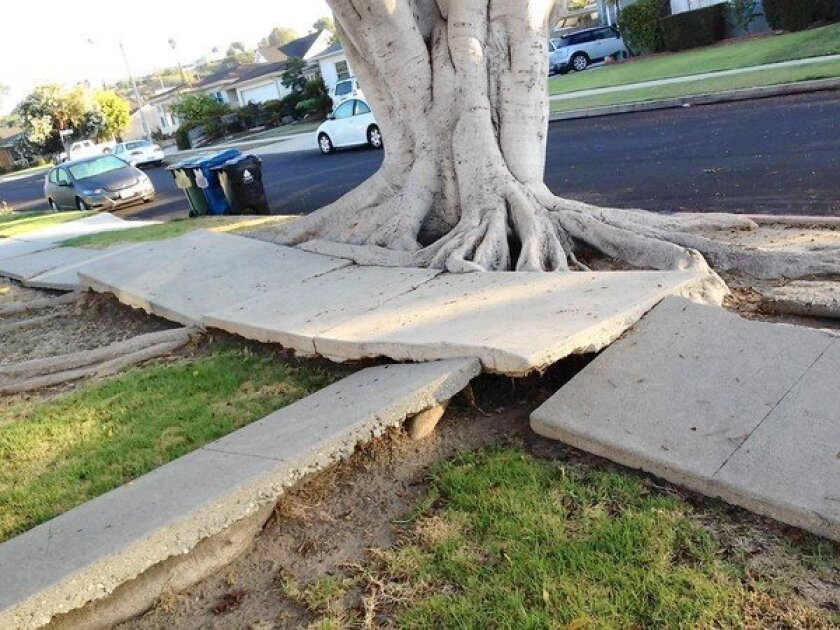 Peter Griswold is leading a campaign to have volunteers report broken sidewalks across the city in lieu of a $10-million survey. This sidewalk, in the 3300 block of Redwood Avenue, has been broken by tree roots.