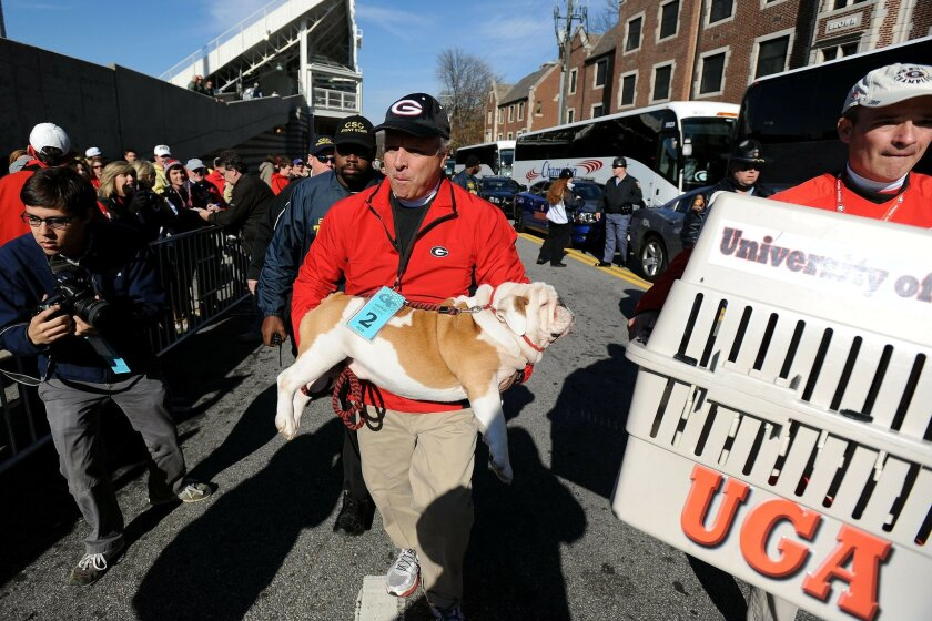 FILE - In this Nov. 30, 2014 file photo, Georgia's mascot Uga IX is carried into Bobby Dodd Stadium by handler Charles Seiler during the traditional Dawg Walk before an NCAA football game in Atlanta.  Uga X comes from the same bloodline as the nine white English bulldogs that previously served as G