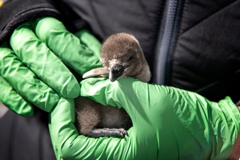 Penguin chick hatched at the Monterey Bay Aquarium
