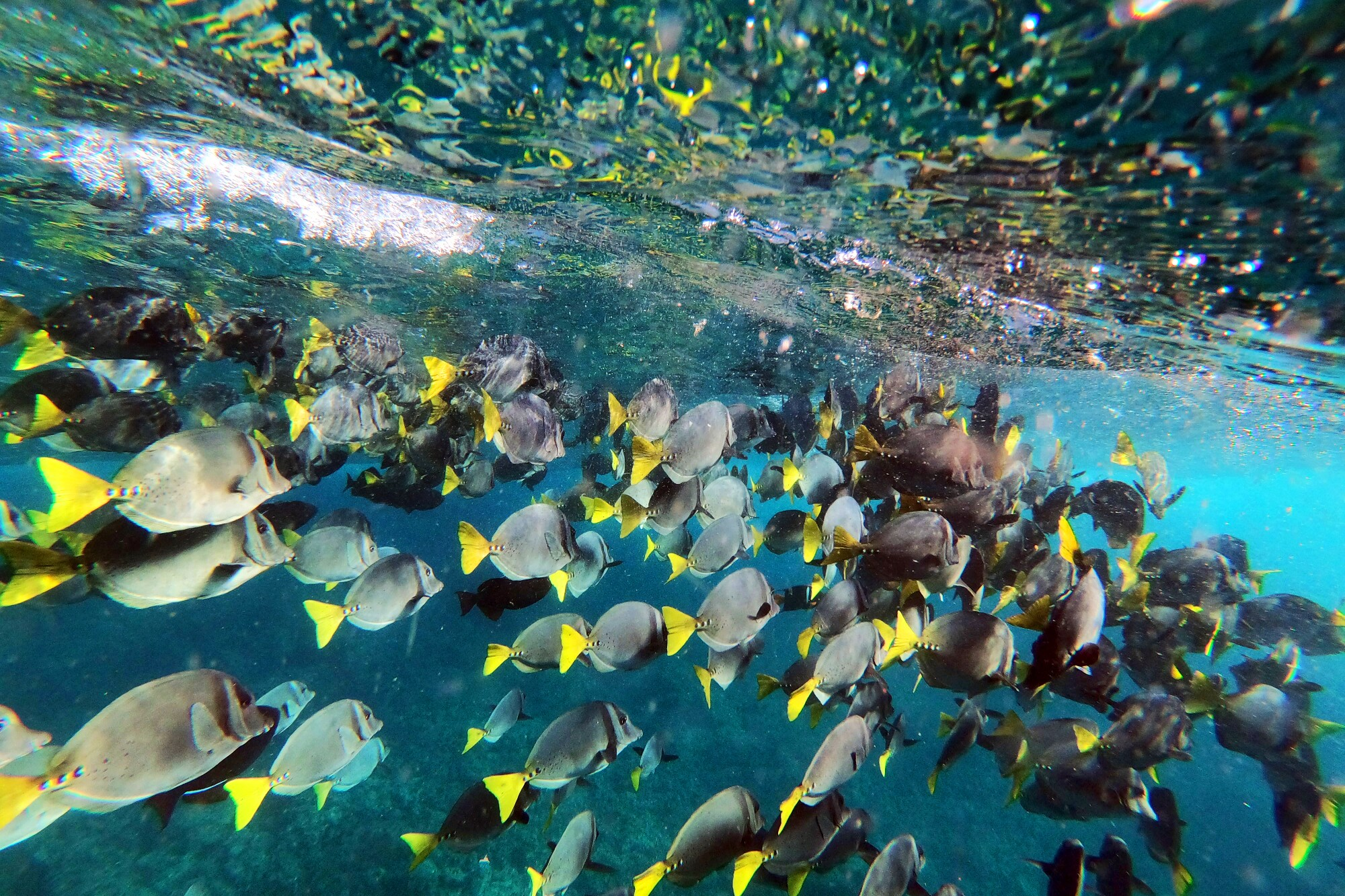 Fish swim in a large school in clear blue water