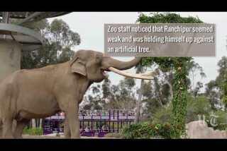 50-year-old elephant euthanized at San Diego Zoo