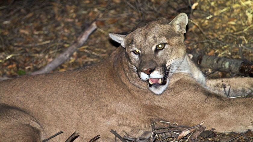 The mountain lion, known as P-45, that is believed to be responsible for the recent killings of livestock near Malibu, Calif.