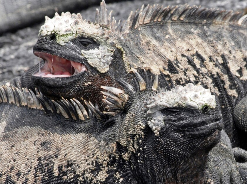 A pair of marine iguanas keep one another warm before entering the ocean on the shore of Isla Fernandina in the Galapagos Islands off the coast of Ecuador. The country plans to run an ad to promote tourism during the Super Bowl on Feb. 1.