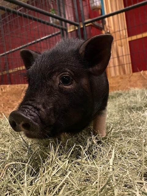 Meet Mama Pig