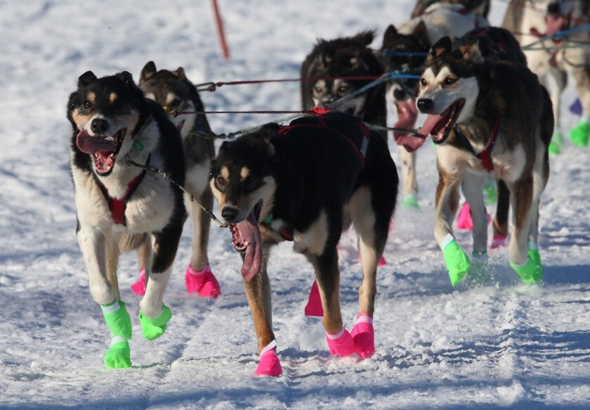 The lead dogs of veteran musher Ryan Redington of Wasilla, Alaska, make their way through the Long Lake area during the 44th Iditarod on March 8, 2020.