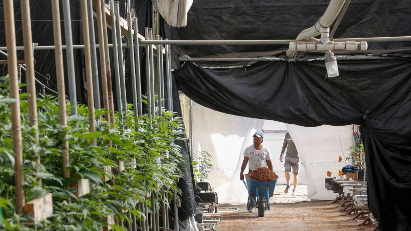 Daily operations continue around the clock in a legal marijuana growing facility in Monterey County. With the upcoming ballot initiative, and several local government actions, cannabis has been permitted but restricted largely to existing greenhouses.