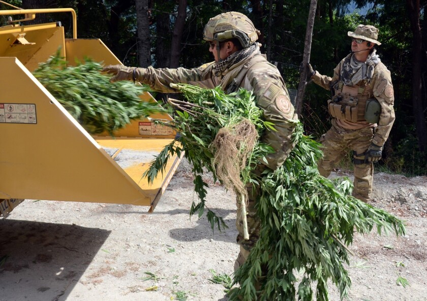 Humboldt County sheriff's deputies and Bureau of Indian Affairs agent work to shred 204 mature marijuana plants in a portable chipper Monday on Yurok tribal property near Weitchpec, Calif.