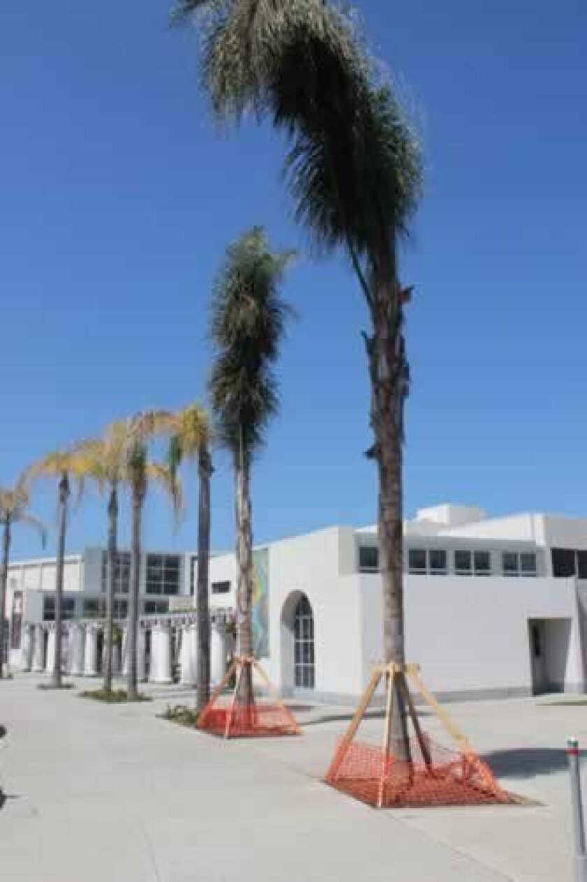These two new queen palms stand beside ailing palms whose health is being closely monitored by museum officials.