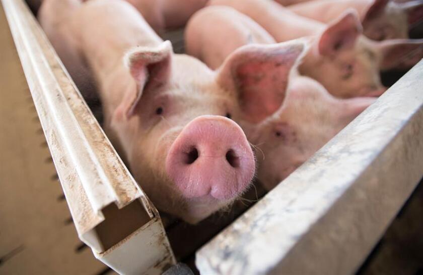 Fotografía de cerdos en edad de sacrificio. EFE/Archivo