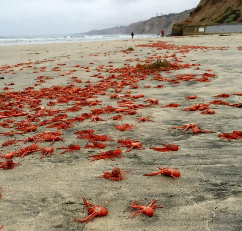 Scores of red crabs washed out on La Jolla Shores May 30.