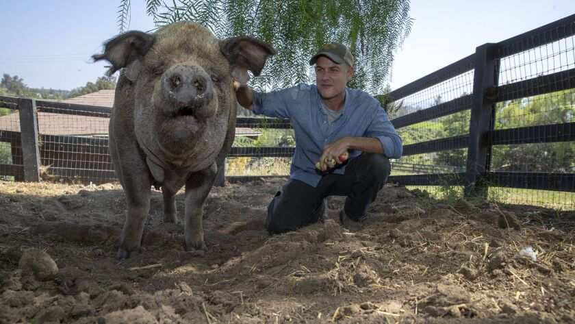 MOORPARK, CALIF. -- SUNDAY, AUGUST 26, 2018: John Chester and Emma the pig on their organic farm in