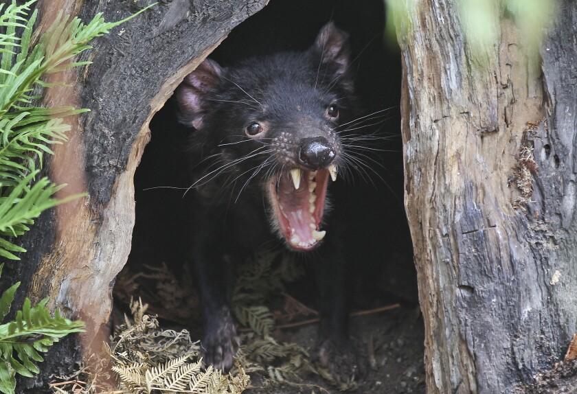 Big John the Tasmanian devil at a zoo in Sydney, Australia