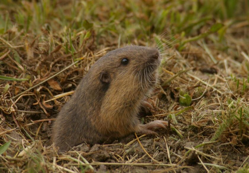 Pocket gophers have long claws on their front feet for digging and pouches that extend along the sides of their body, which are used for holding food.