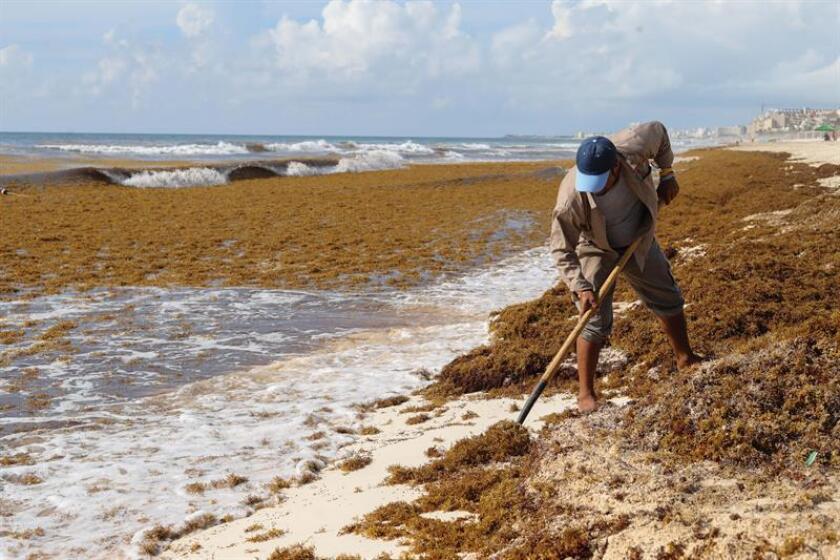 El excesivo arribo de sargazo registrado los últimos meses en playas del Caribe mexicano ha pasado de la crisis que apuntaba a un desastre ecológico, a la oportunidad que representa su potencial aprovechamiento. EFE/ARCHIVO