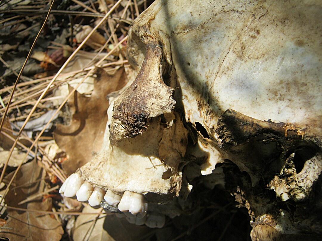 A skull found in August 2013 in Stanislaus National Forest