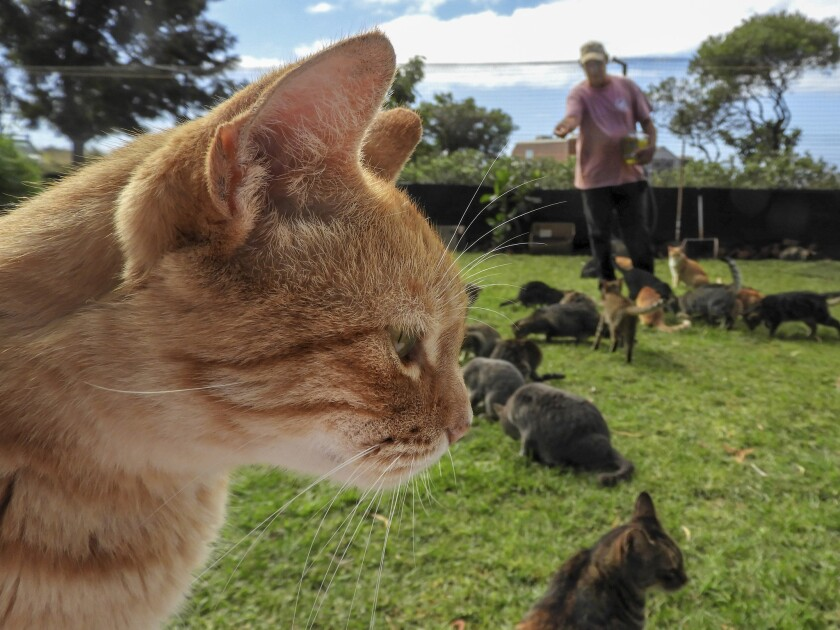 LANAI, HAWAII - As employee C.B. Butt tosses treats to a gathering of cats, a ginger tabby seems obl