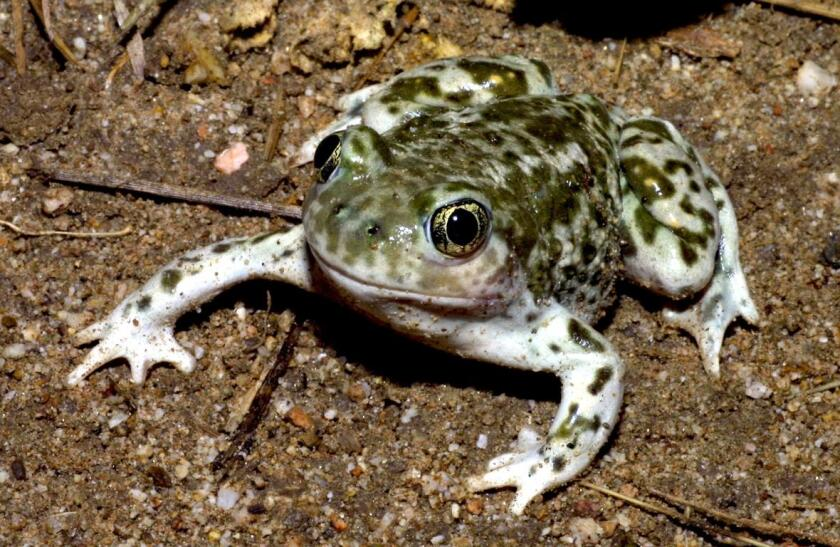 Coastal Commission approves 8 toad pools and habitat restoration at Crystal Cove State Park