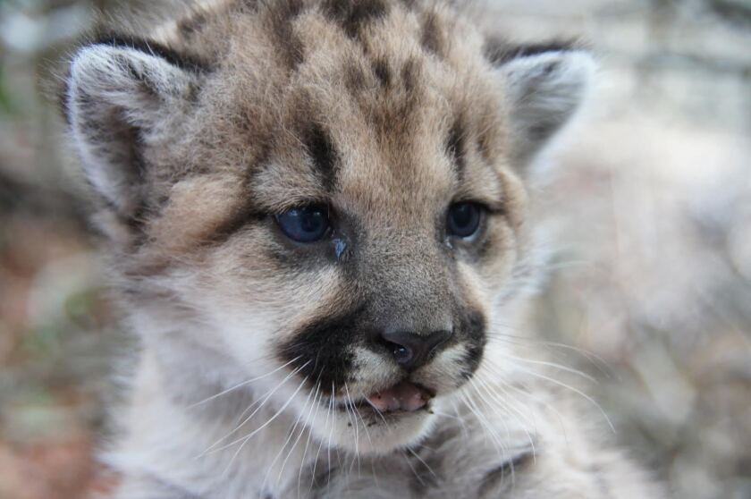 P-32 is one of three mountain lion kittens born in the Santa Monica Mountains in December that appear to be the result of inbreeding.