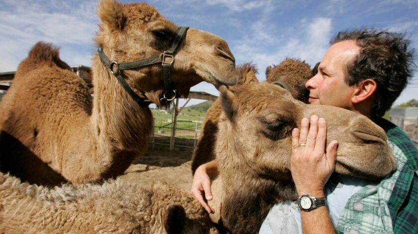 Oasis Camel Dairy owner Gil Riegler prepares his camels for the seventh annual Pomegranate Days Festival in Ramona Thanksgiving weekend.