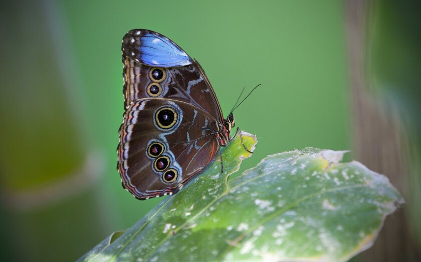 At the San Diego Zoo Safari Park's new Butterfly Jungle, these large Common Blue Morpho butterflies fly and rest throughout the exhibit enclosure.  The new exhibit opens officially on March 16th and run until April 7th.
