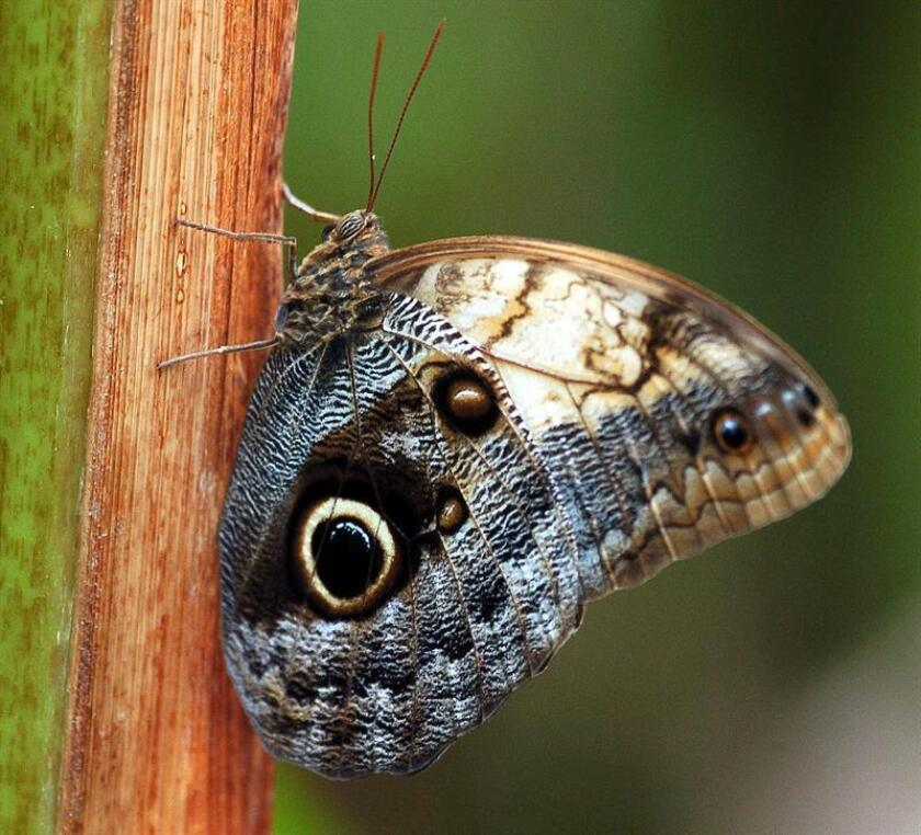 Una mariposa Ojos de Buho. EFE/Archivo