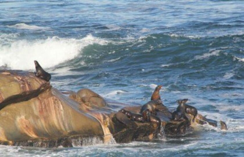To reduce sea lions at La Jolla Cove (and to create an overall plan to reduce their odor), San Diego officials are analyzing methods employed by other municipalities along the California coast that have unwieldy sea lion numbers.