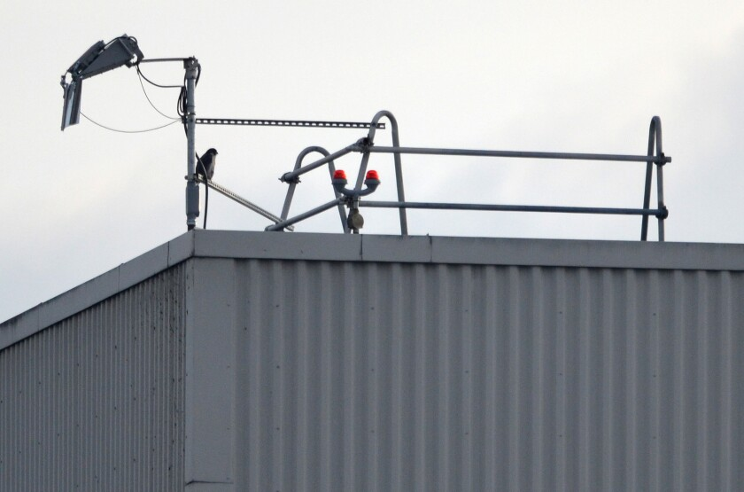 A male peregrine falcon perches atop the roof of the idled plant where Boeing made 737 Max planes.