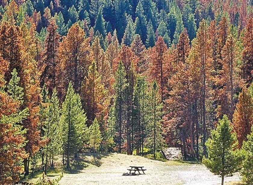 Pine forests across the West, such as this one in Montana, are dotted  with rust-red pines killed by bark beetles. Drought conditions have  weakened trees, making them vulnerable, and warming temperatures have  allowed beetle species to move into new areas. (Anne Sherwood / The New  York Times)