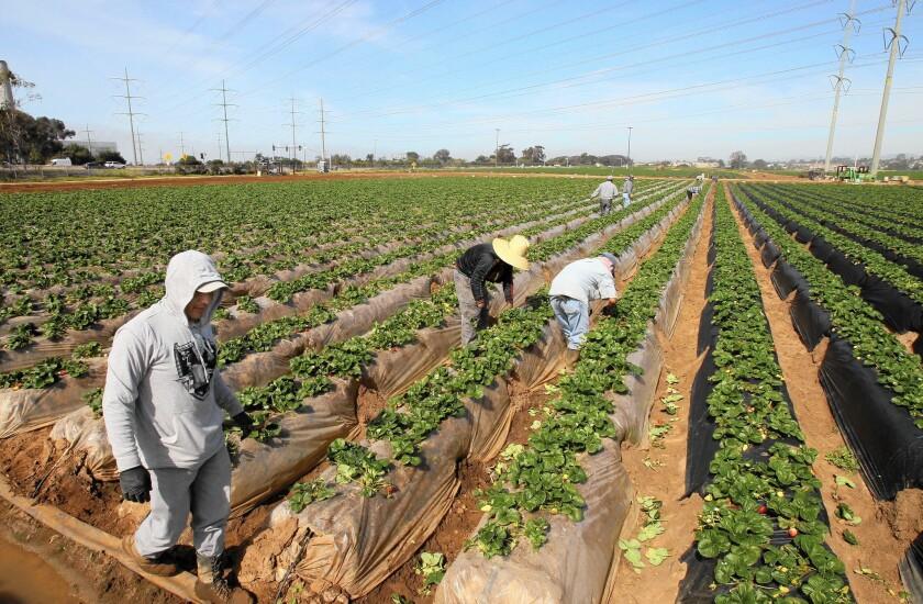 Strawberry fields in Carlsbad