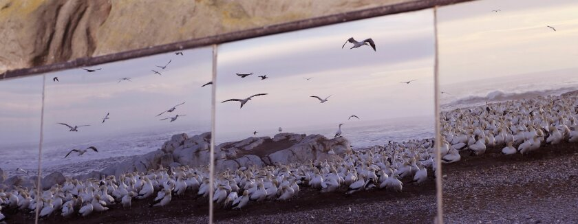 In this photo taken on Saturday, May 16, 2015, the reflection of gannet birds seen on the exterior tinted window of a bird viewing hide on a island at the town of Lambert's Bay, South Africa. Loud shrieking calls and the pungent smell of droppings from thousands of Cape gannet birds greet visitors to the Lambert's Bay Bird Island nature reserve off South Africa's west coast. (AP Photo/Schalk van Zuydam)