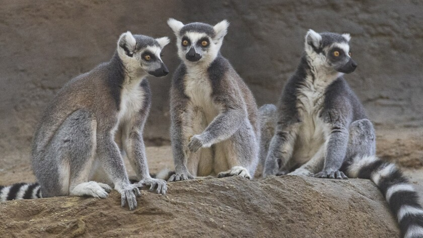 Lemurs are just one of many interesting types of animals you'll encounter at the San Diego Zoo.