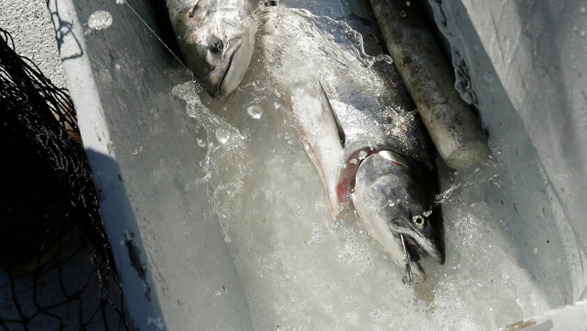 Salmon flail in a water tub after being caught off the coast of Stinson Beach, Calif.