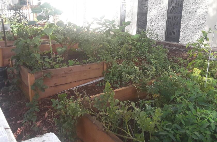 AND SPEAKING OF FOOD ... After only a few months growing, look how abundant the harvest is at the new PB Community Garden in front of St. Andrew's by-the-Sea Episcopal Church, 1050 Thomas Ave.