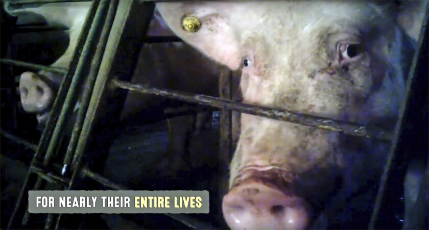 This frame grab from a video provided by Mercy for Animals shows a pig in an undercover video released by the group. The recently released undercover video showing pigs being abused at a supplier to the world's largest meat producer also highlights practices that are still common but slowly being changed in the pork industry.