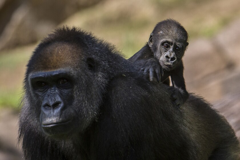 Imani and baby Joanne at the San Diego Zoo Safari Park. Joanne was born by caesarian section, a first at the park for a gorilla mother. Three months later, both are fine.