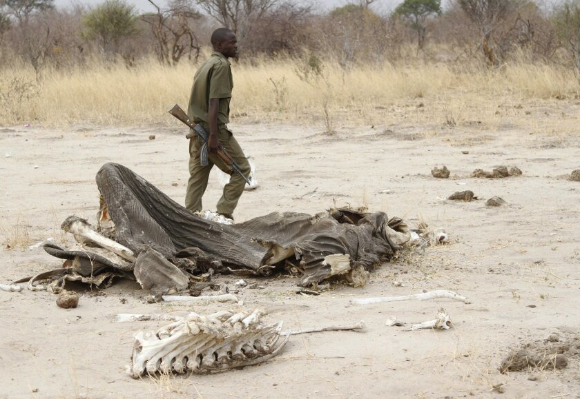 FILE - In this Sunday, Sept. 29, 2013 file photo, a game ranger walks by a rotting elephant carcass, in Hwange National Park, Zimbabwe. Zimbabwean officials say poachers killed five elephants by poisoning them with cyanide. Violet Makoto, spokeswoman for Zimbabwe's forestry commission, said Monday,