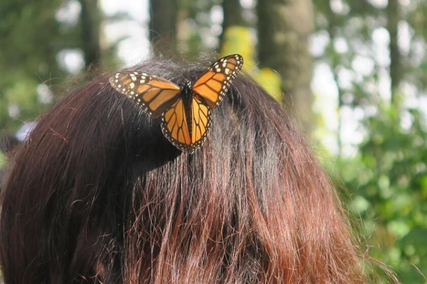 MICHOACAN (MEXICO). Courtesy photograph of the World Wildlife Fund (WWF) and taken on Nov. 25, 2018. Fleeing the frosts of Canada and the United States, monarch butterflies each year travel 4,200 km (some 2,600 mi.) to reach the forests of Mexico, pollinating millions of flowers along the way. EPA/EFE/Enrique Corte/WWF/
