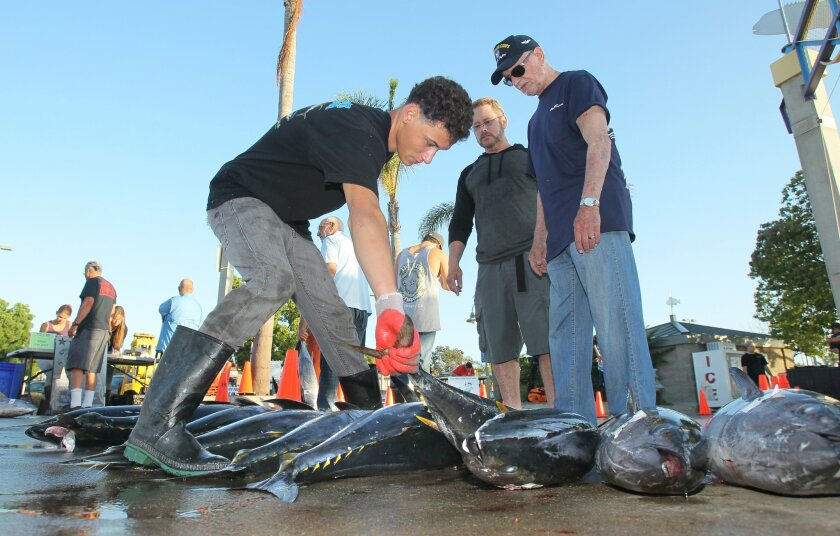 """At H&M Landing on Point Loma Jace Cubberly, of Fisherman's Processing, at left, reaches for a tuna as fishermen Mike Mark, middle, and Lee Goldstein, look over the tuna they caught on a 5 day excursion on the """"Spirit of Adventure"""" fishing boat."""