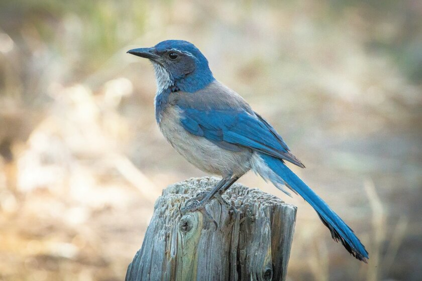The scrub-jay, common to chaparral and sagebrush, is also a frequent backyard visitor to San Diego residents living near canyons.