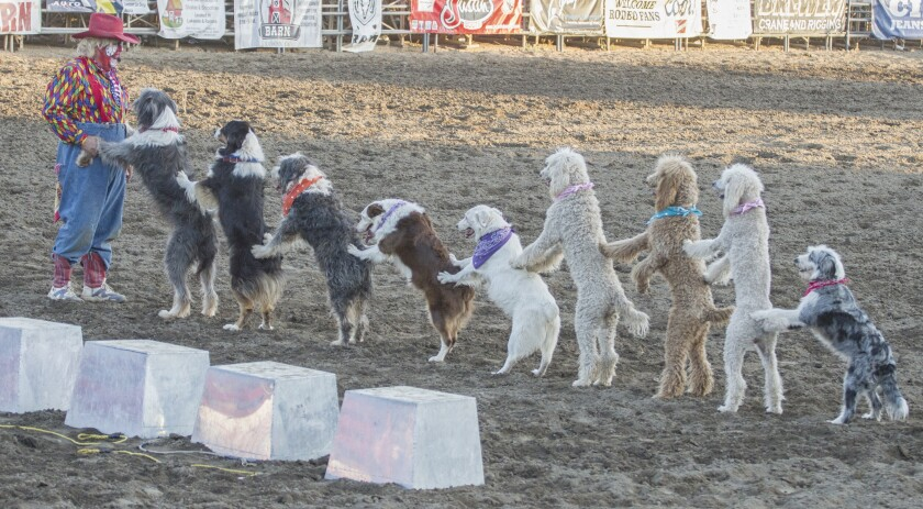 Bert Davis travels to rodeos, fairs, festivals and circuses with his troupe of performing dogs.