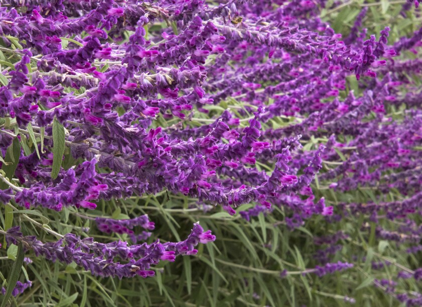 Salvia leucantha, known as Mexican bush sage, has lavender-hued spikes of flowers.