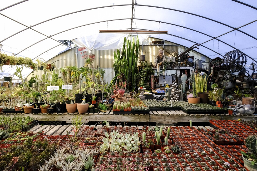 Rows of succulents in a greenhouse