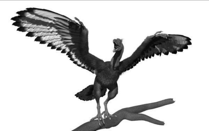 """An artist's rendition of Archaeopteryx, an early feathered species that shared characteristics of birds and dinosaurs. A well-preserved fossil described in the journal Nature shows Archeopteryx had long, feathered """"trousers."""""""