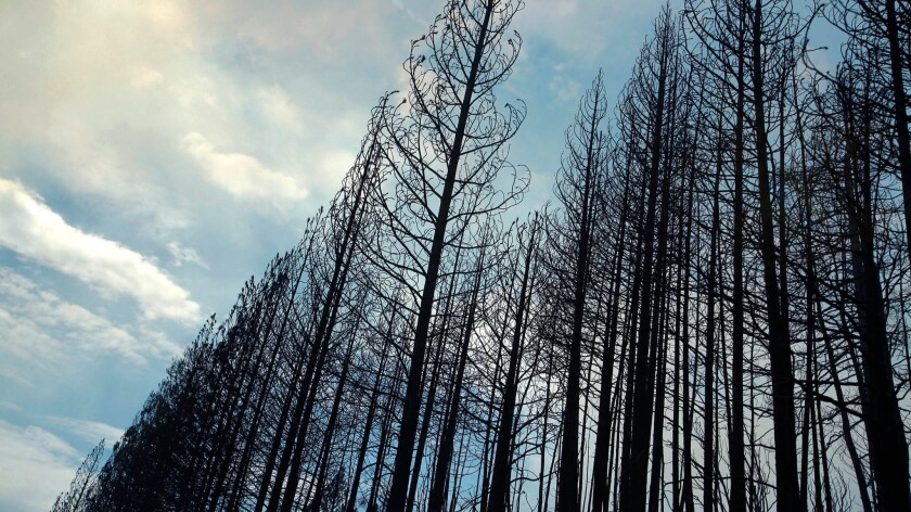 A stand of burned ponderosa pines is silhouetted against a smoky sky near Yosemite National Park in August 2013. The trees burned in the Rim fire, which consumed more than 250,000 acres.