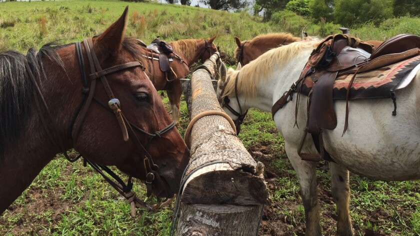 Horses await guests who will ride them through Maui's upcountry as they help wrangle cattle.