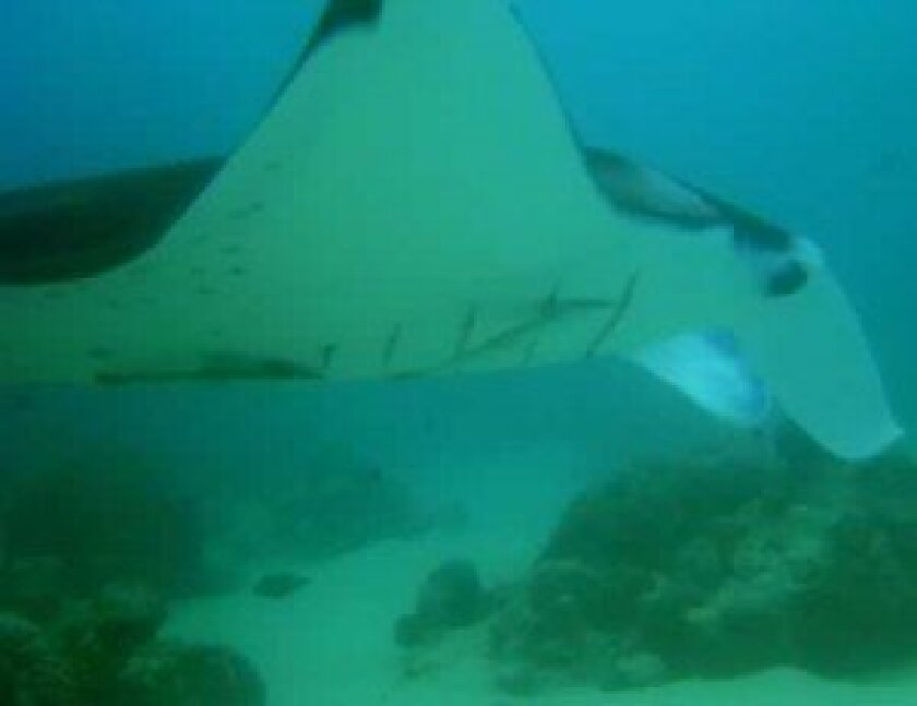 Natural spots on the belly of manta rays provide a convenient means of identification. National Oceanographic and Atmospheric Administration