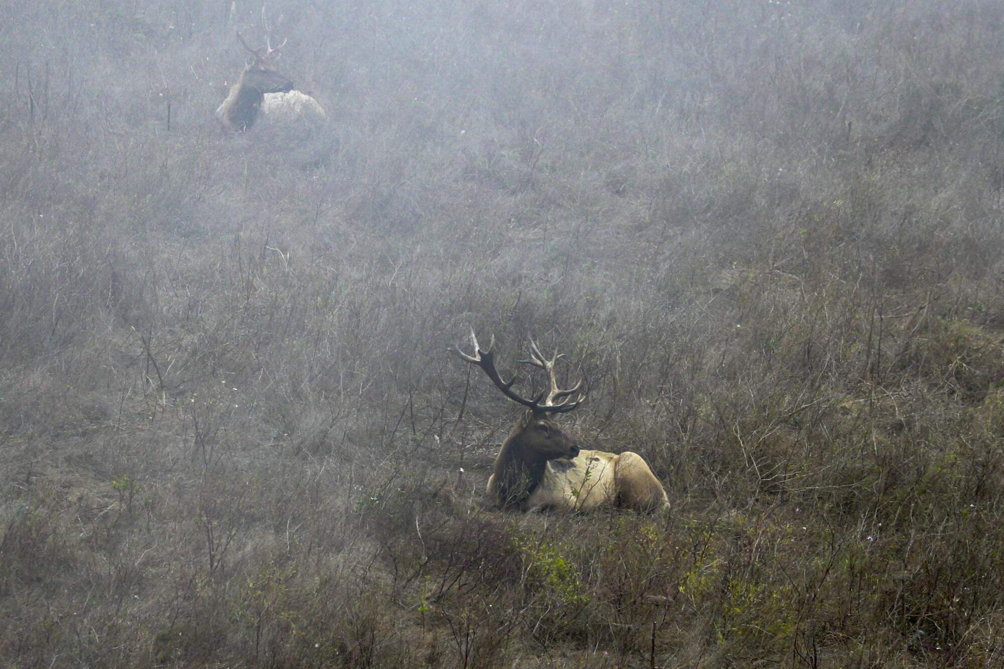 Tule elk at the Point Reyes National Seashore.