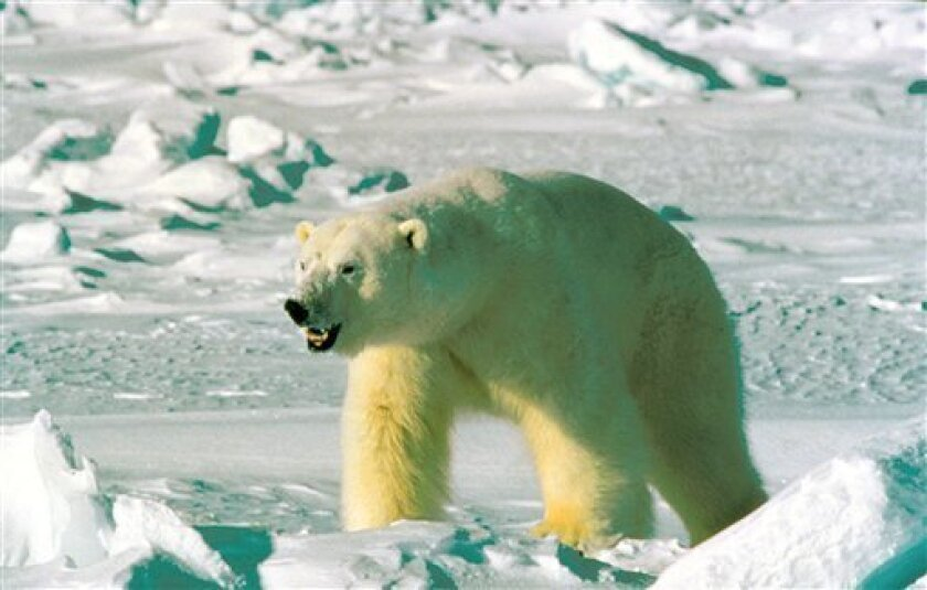 FILE - This undated file photo from the U.S. Fish and Wildlife Service's Alaska Image Library shows a polar bear.The Interior Department is letting stand a Bush administration regulation that limits protection of polar bears from global warming, three people familiar with the decision told The Associated Press. (AP Photo/U.S. Fish and Wildlife Service, FILE)